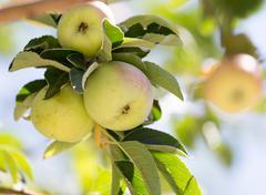 Ripe apples on the tree Stock Photos