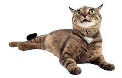 Tabby cat looking up on a white background. Stock Photos