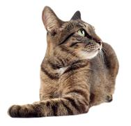 Tabby cat looking up to the right isolated on white background. - stock photo