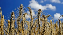 Detail of wheat field,time lapse Stock Footage