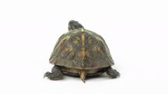 Box turtle on white Stock Footage