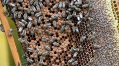 Honeycomb with bees Stock Footage