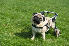Handicapped dog Stock Photos