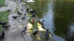 Swans and pigeons Stock Footage