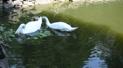 Two swans in a pond Stock Footage