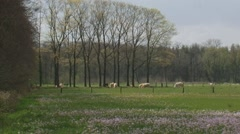Pasture colored with pink cuckoo flowers, cattle grazing in distance - zoom out - stock footage