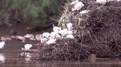 Australian white ibis on nest Stock Footage