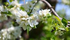 Blooming apple tree branch Stock Footage