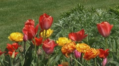 Orange and Yellow Tulips blooming in garden bed Stock Footage