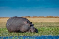 Hippo Grazes - stock photo