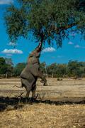 Elephant on hind legs - stock photo