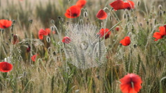 Stock Video Footage of Cobwebs morning mist summer poppies swaying barley field Tuscany
