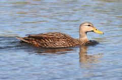 Mottled duck in the florida everglades Stock Photos