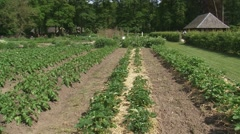 Potato beds in kitchen garden - pan left Stock Footage