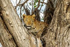 Leopard in Tree V - stock photo