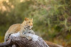 Leopard on a Log Stock Photos