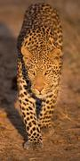Leopard Walks Towards Camera Stock Photos