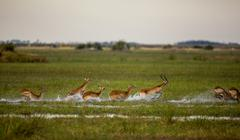 Red Lechwe running through water Stock Photos