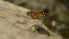Orange Buttefly Takeoff from Rock in Slow Motion - stock footage
