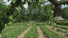 Potato beds in traditional kitchen garden  + pan left fruit trees Stock Footage
