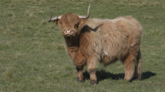 Horned highland cattle beast Stock Footage