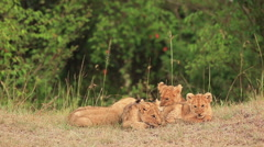 Lion Cubs Huddle Stock Footage