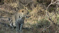 Leopard Sits Patiently Stock Footage
