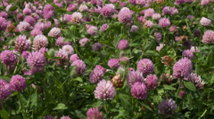 A large field of blooming clover. Stock Footage