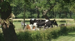 Cattle in pasture zoom out + pan - kitchen garden Stock Footage