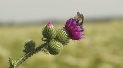 Bumble bee pollinating a flower Thistle Stock Footage