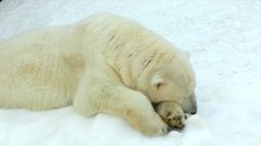 A polar bear female, lying on snow and moving its ear. Stock Footage