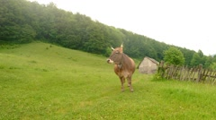 cow on a background of forest and wood fence fly gadflies and horseflies - stock footage