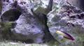 4k Colourful Elegant firefish Nemateleotris decora in coral reef Footage