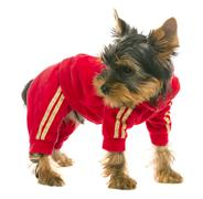 dog in a tracksuit - stock photo