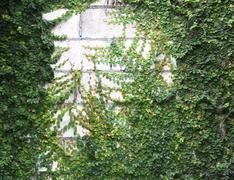 Green creeper Stock Photos
