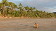 Wallaby on the beach during sunrise Stock Footage