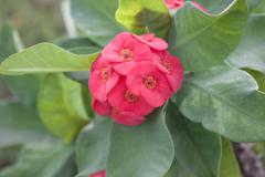 euphorbia flowers red - stock photo