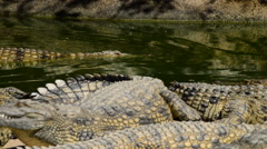 Crocodiles or alligators in park - stock footage