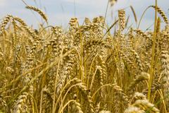 Many spikelets of wheat Stock Photos
