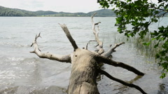 Old drift wood tree Stock Footage