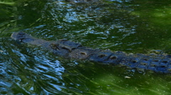 Crocodile or alligator swimming in river Stock Footage