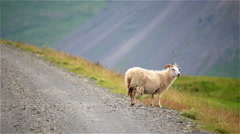 Ram sheep on mountain dirt road facing traffic, Iceland Stock Footage