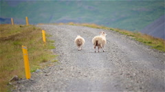 Sheep walking down gravel road away from traffic, Iceland Stock Footage