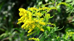 Stock Video Footage of Goldenrod growing in the wild
