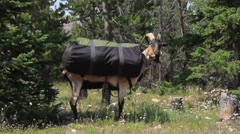 Pack goat carrying a load of supplies walking around. - stock footage