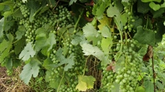 Wine Grapes 2 mid-summer Stock Footage
