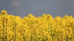 Rape Field Yellow Flowers - stock footage