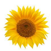 Sunflower flower isolated over white. - stock illustration