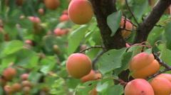 Apricot harvest Stock Footage