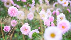 Stock Video Footage of flower-bed with flowering asters